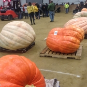What says New England more than growin a pumpkin to enourmous size?  The winner was just shy of 2000 lbs.