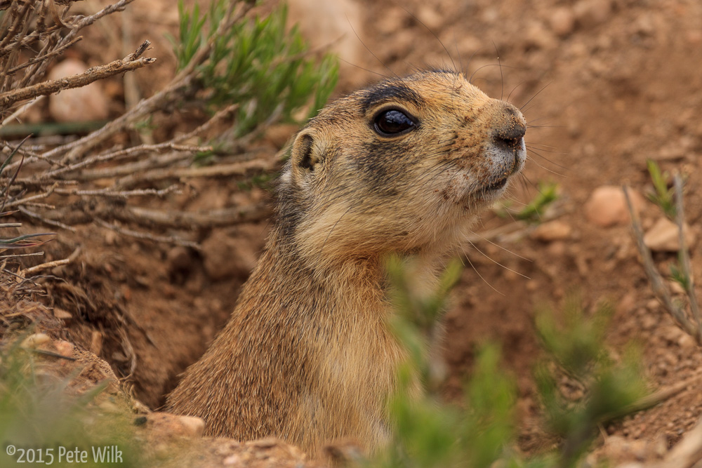 On the way out we were able to see some of the residents of the Utah prairie town in the park.  These little critters are the smallest of all the prairie dogs and are a threatend species.  They are pretty accustomed to people and so we were able to get good pictures.