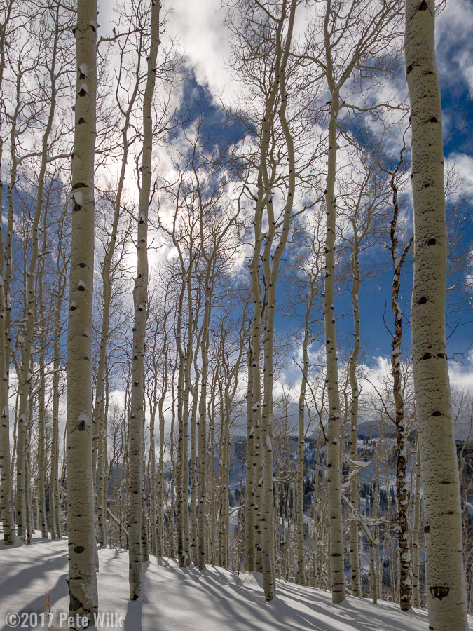 Sunlight through the aspens on some great snow.