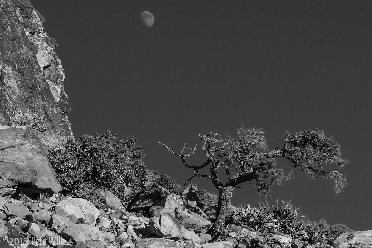 Desert tree and moon.