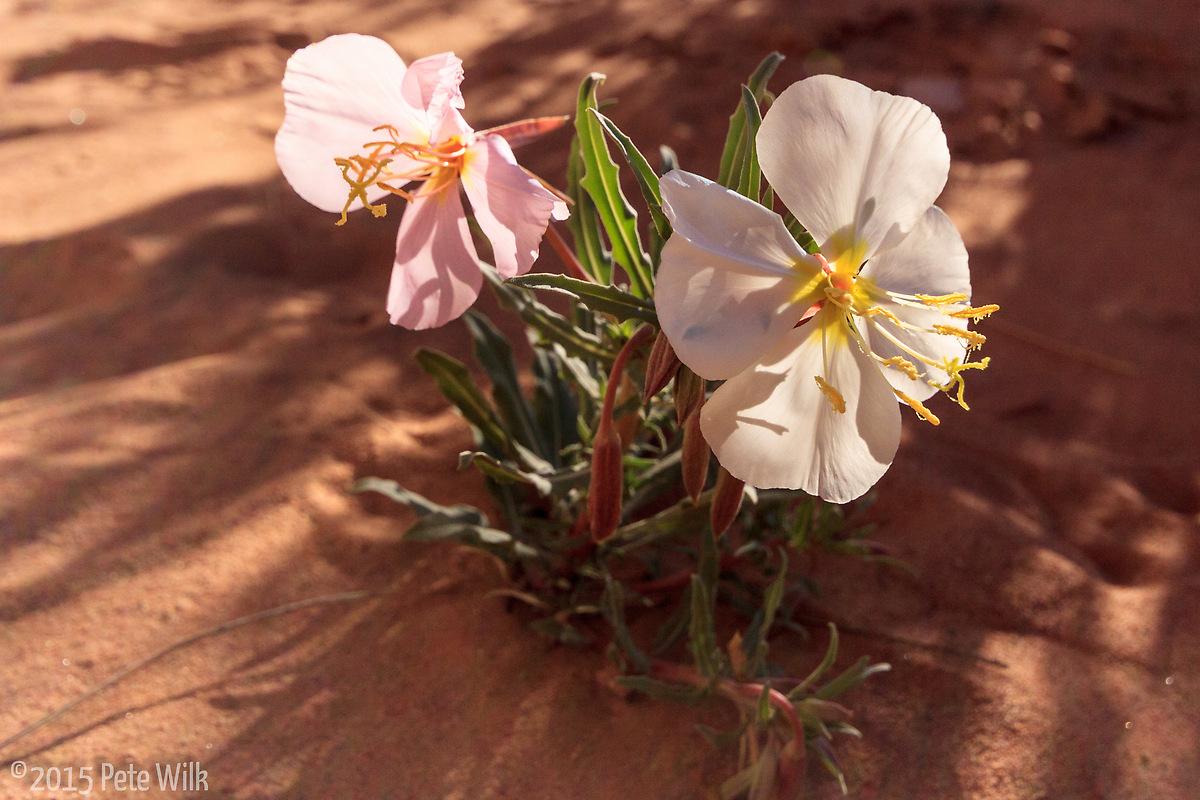 Desert flowers.