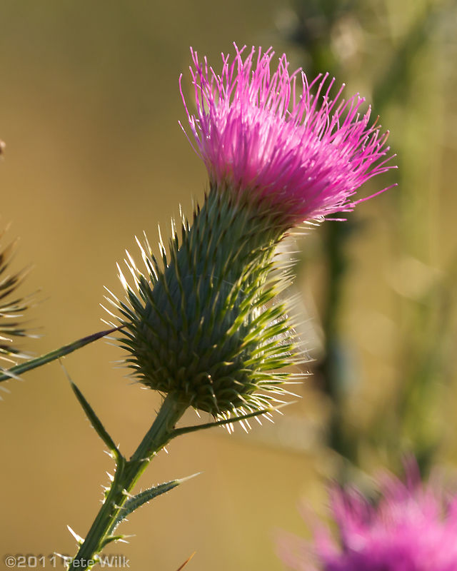 Morning thistle.