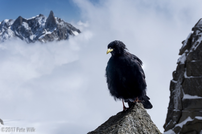 A choucas bird looking for a handout.  Dent du Geant in the background.