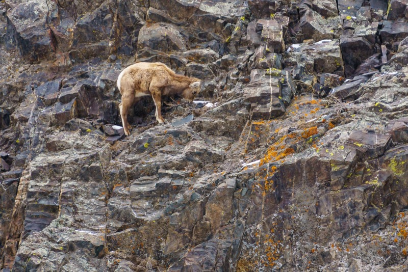 Young mountain goat on the cliff above the road.