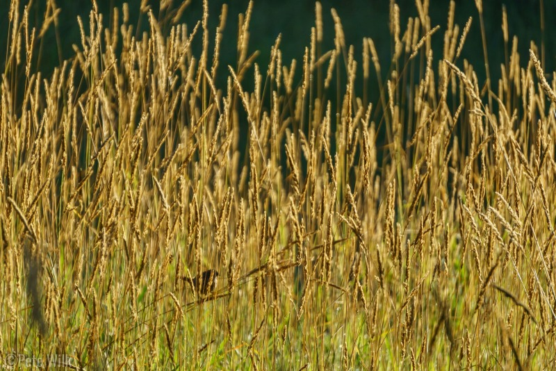 Song bird in the tall grass at sunrise.
