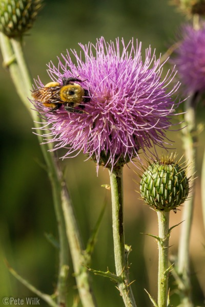 I not once but twice photographed some of these large thistles and both times these bumble bees came to the flower while I was shooting.