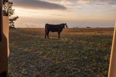 The area is an open range for cattle and we got these visitors a few times a day, usually early or late.