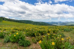 It is wildflower season up at Soapstone Pass.