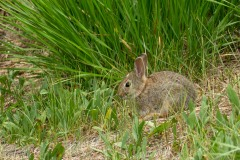 This pigmy rabbit snacked on the grass just beyond where we parked.