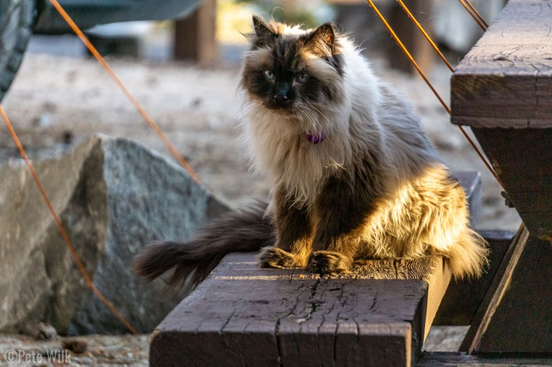 Our buddy Cyrus.  Owned by the camp host at Pine City Campground in Mammoth Lakes, CA.  Cyrus was totally happy to go on walks with his owner without a leash.  His sister Lucy was in the catio.
