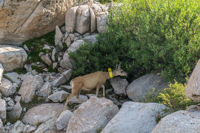 A visitor to our camp at Upper Boy Scout Lake.