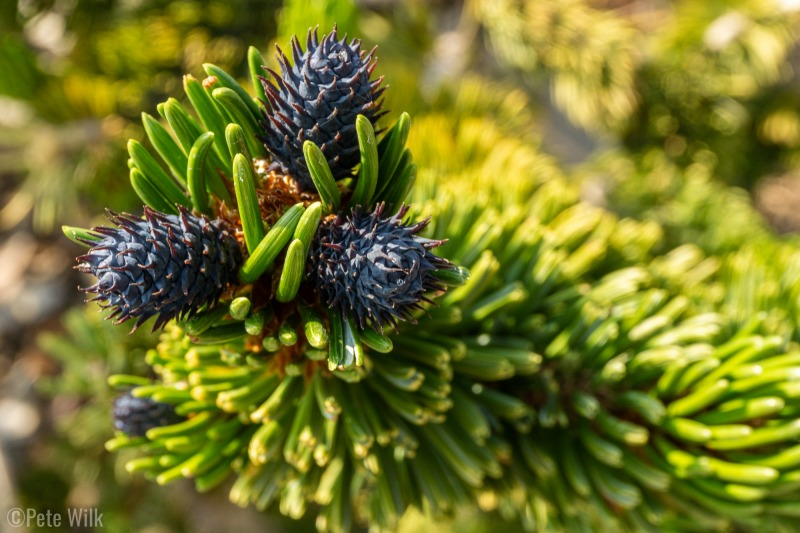 To finish up the day in cool temps we drove up to 10,000' to visit the Ancient Bristlecone Pine Forest.  These pinecones are first year cones.