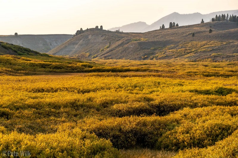 Much of the bushes have turned gold, even more accentuated by the setting sun.
